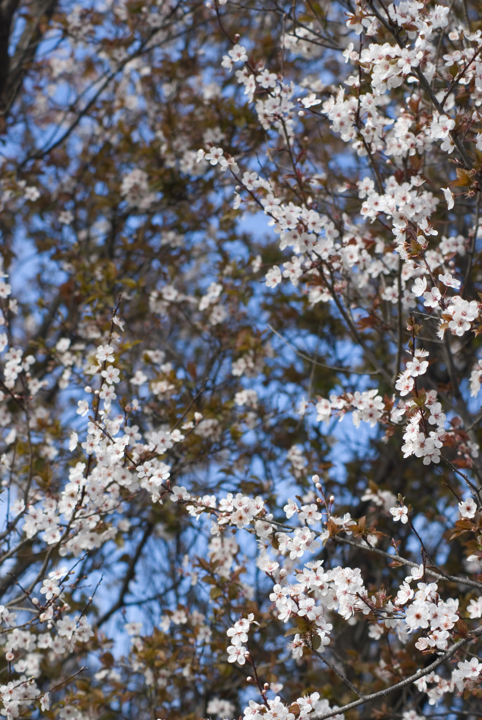 plum_blossom.jpg - Delicate pink decorative spring plum blossom covering a tree with deep maroon foliage against a blue sky