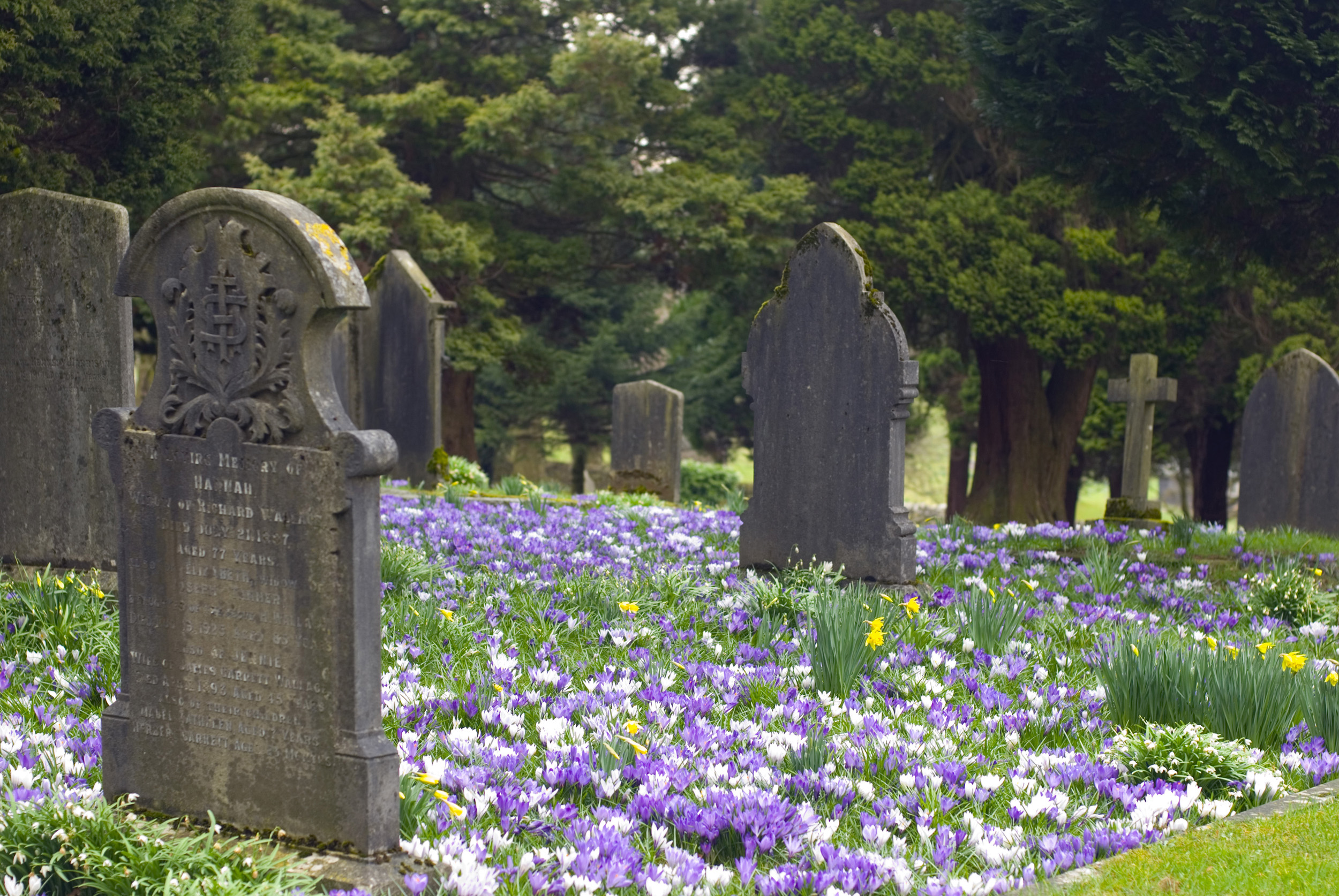 churchyard_easter.jpg - Colourful spring churchyard at Easter with blue and white crocuses and spring flowers carpeting the grass amongst the gravestones