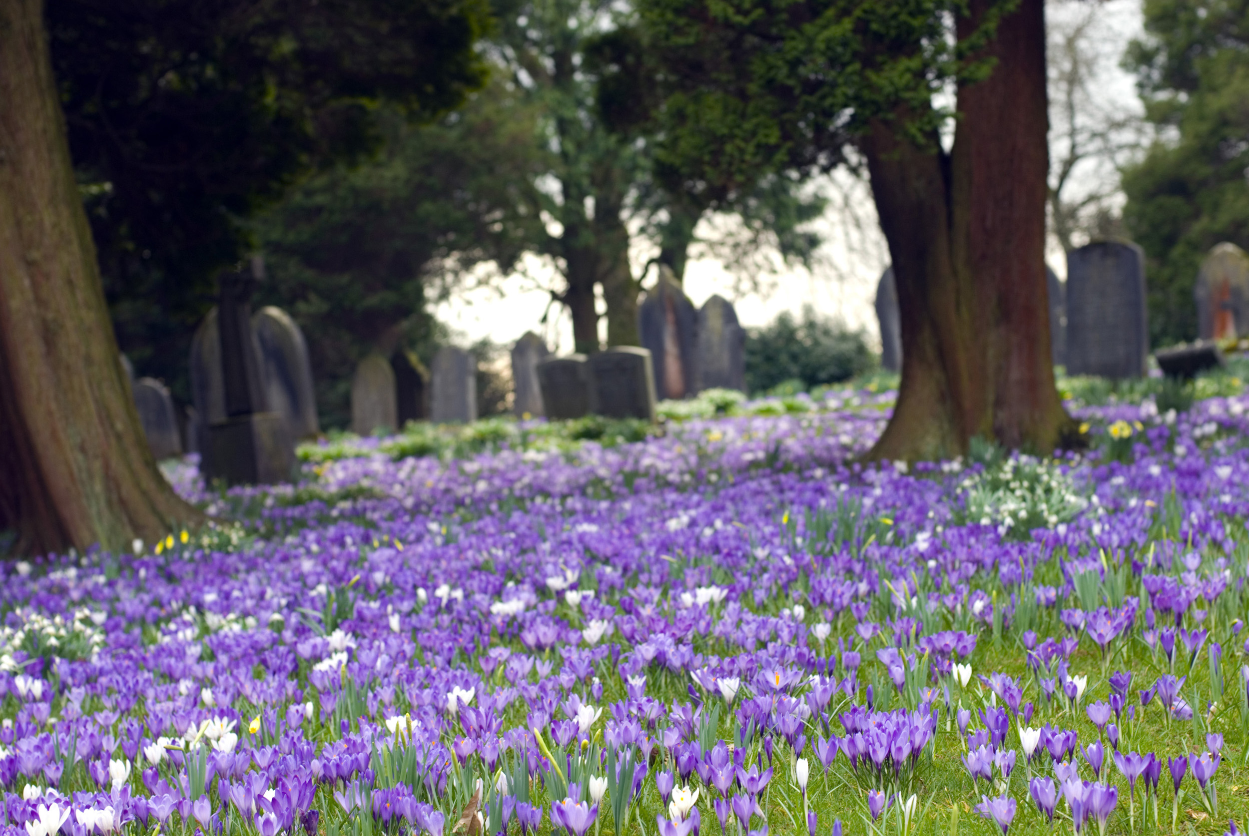 crocus_flowering.jpg - Pretty fresh purple and white Crocuses flowering beneath trees bordering the edge of a small country churchyard