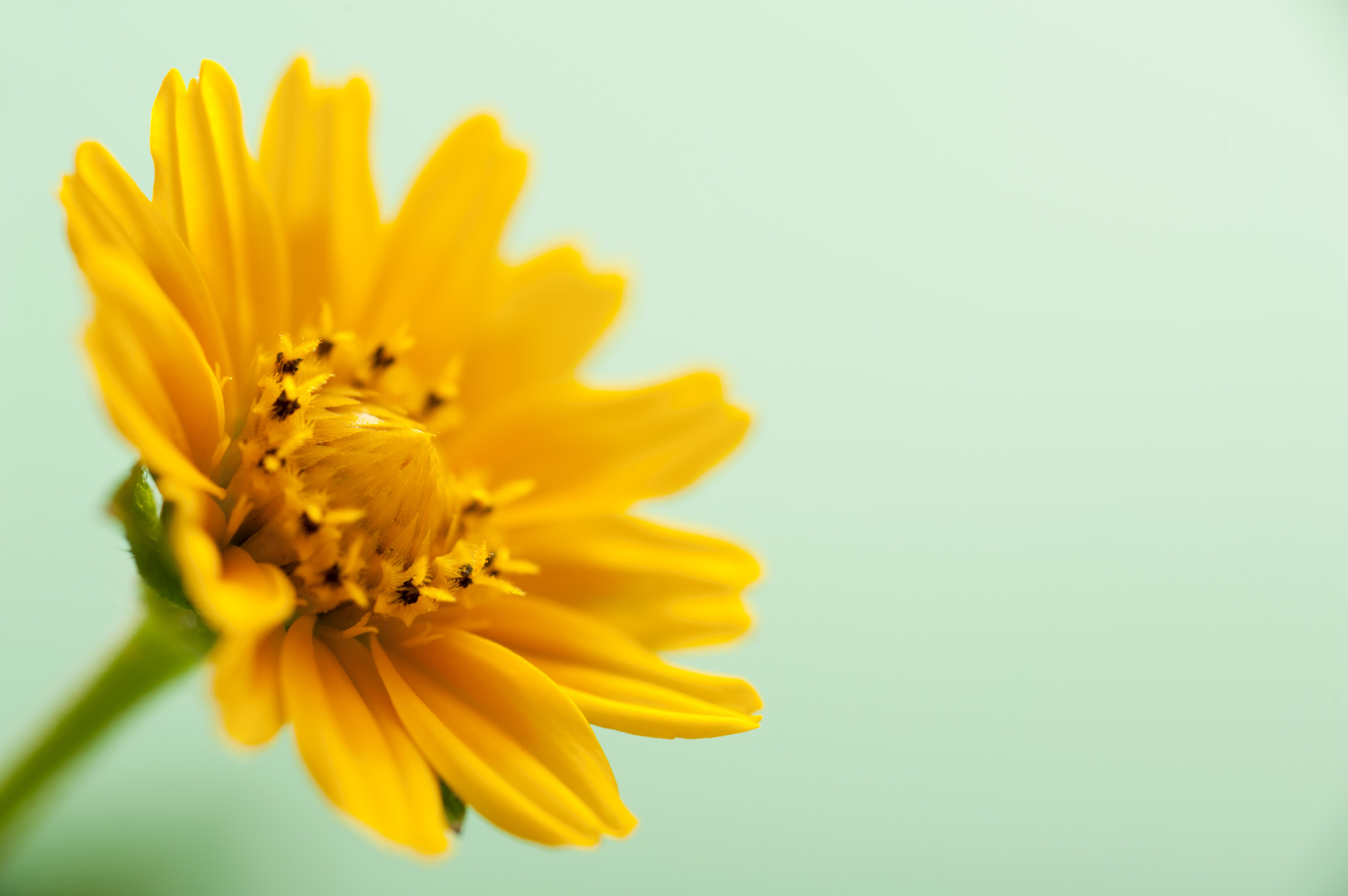 easter_daisy_background.jpg - Colorful yellow Easter or spring daisy symbolic of the season viewed at a three quarter angle over a soft fresh green background with copy space
