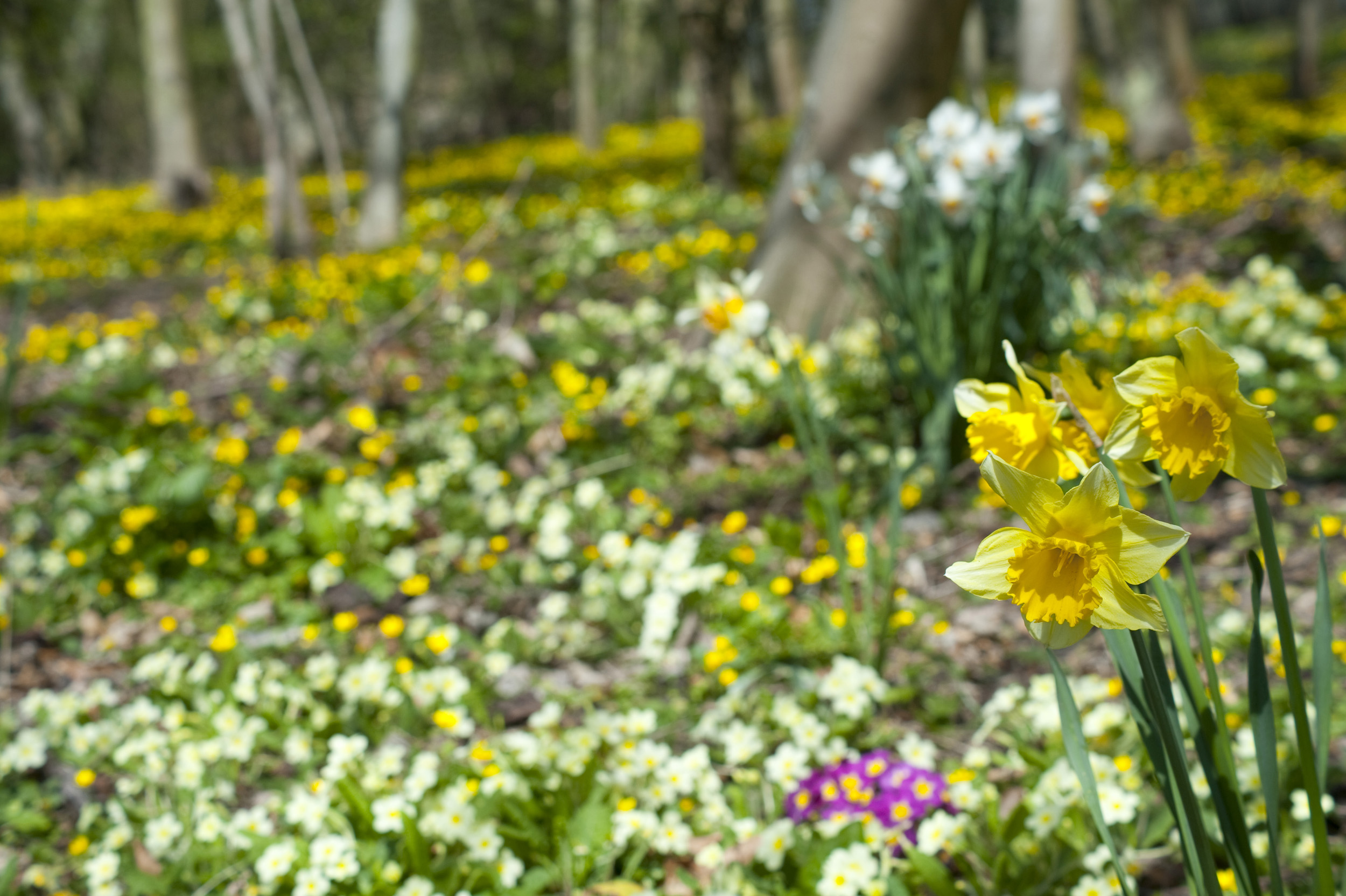 easter_woodland_flowers.jpg - Closeup image of yellow spring daffodils blooming in an Easter woodland carpeted with colourful wildflowers