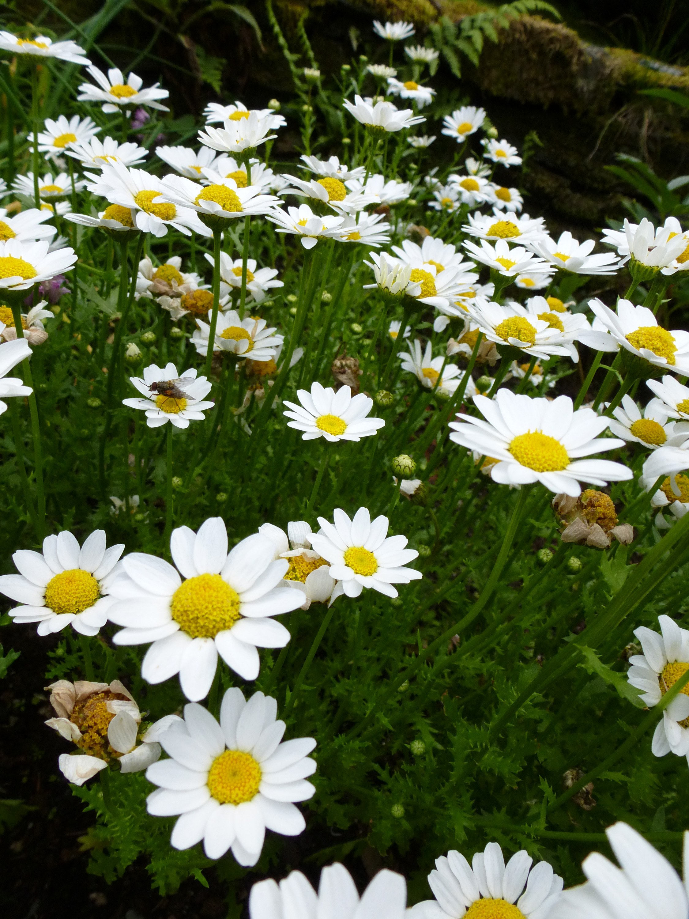 field_daisys.jpg - Close up of white daisy flowers in green field background