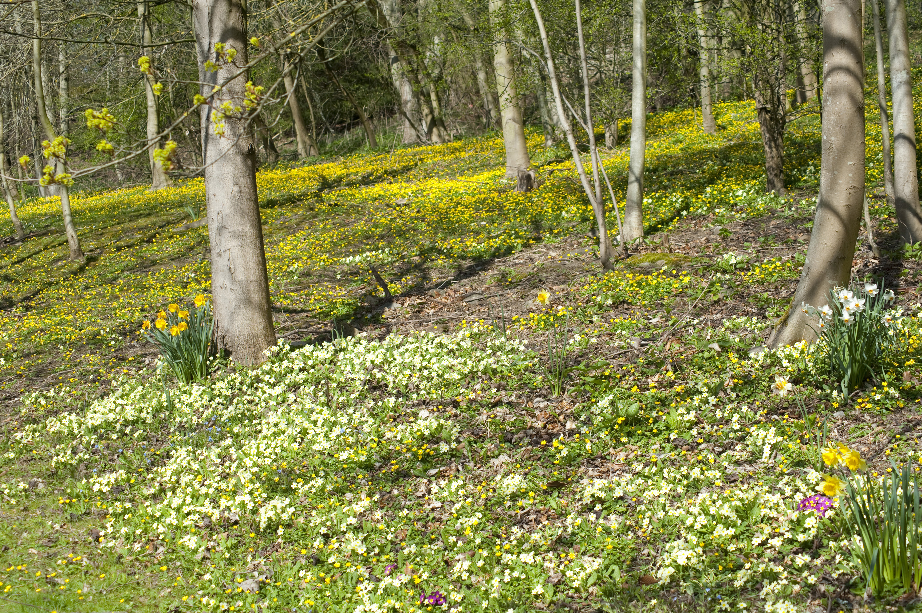floral_carpet.jpg - Carpet of pale yellow primroses flowering under the trees in open woodland