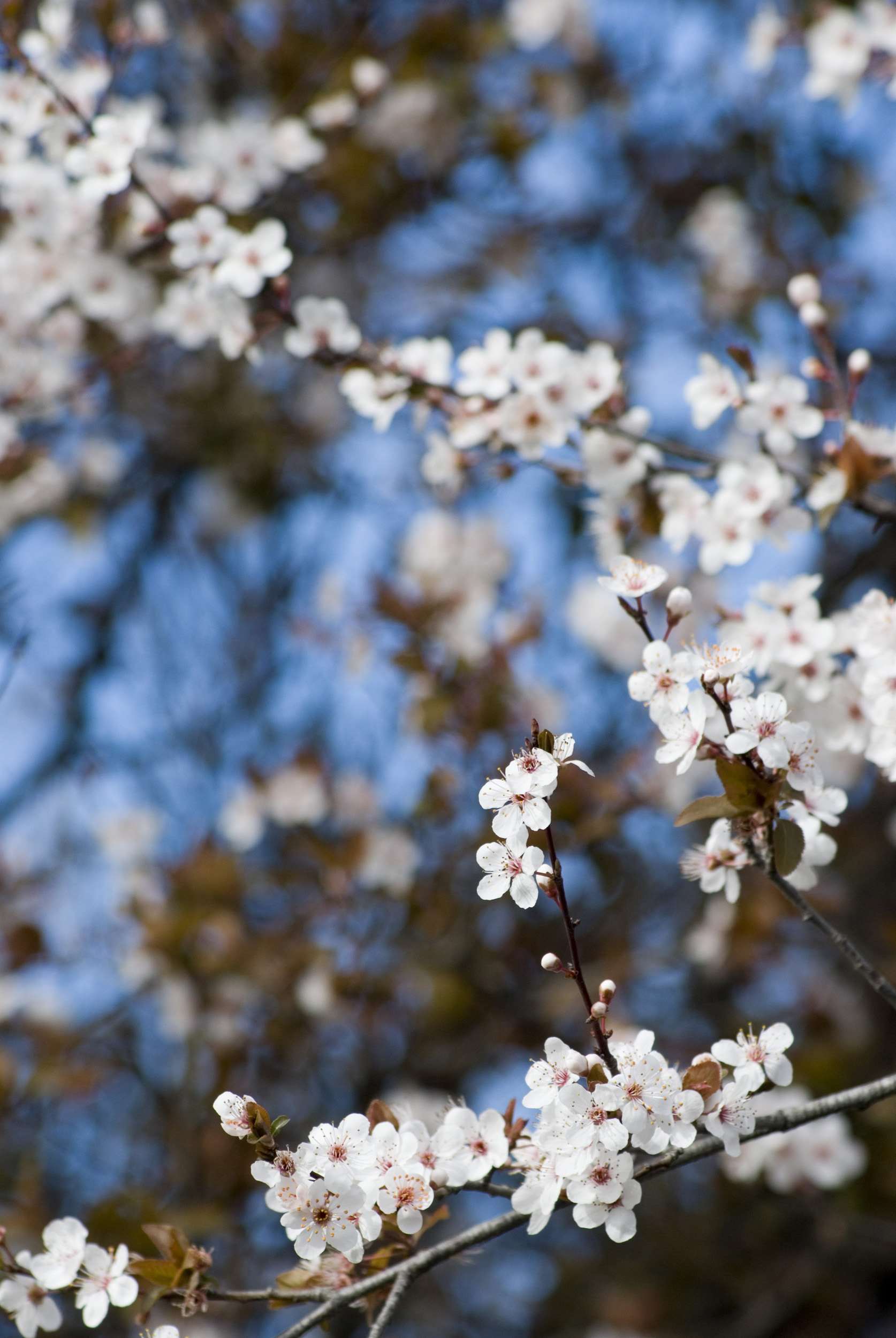 plum_tree_blossom.jpg - Fresh spring blossom of the flowering plum or prunus growing in a colourful garden with shallow depth of field