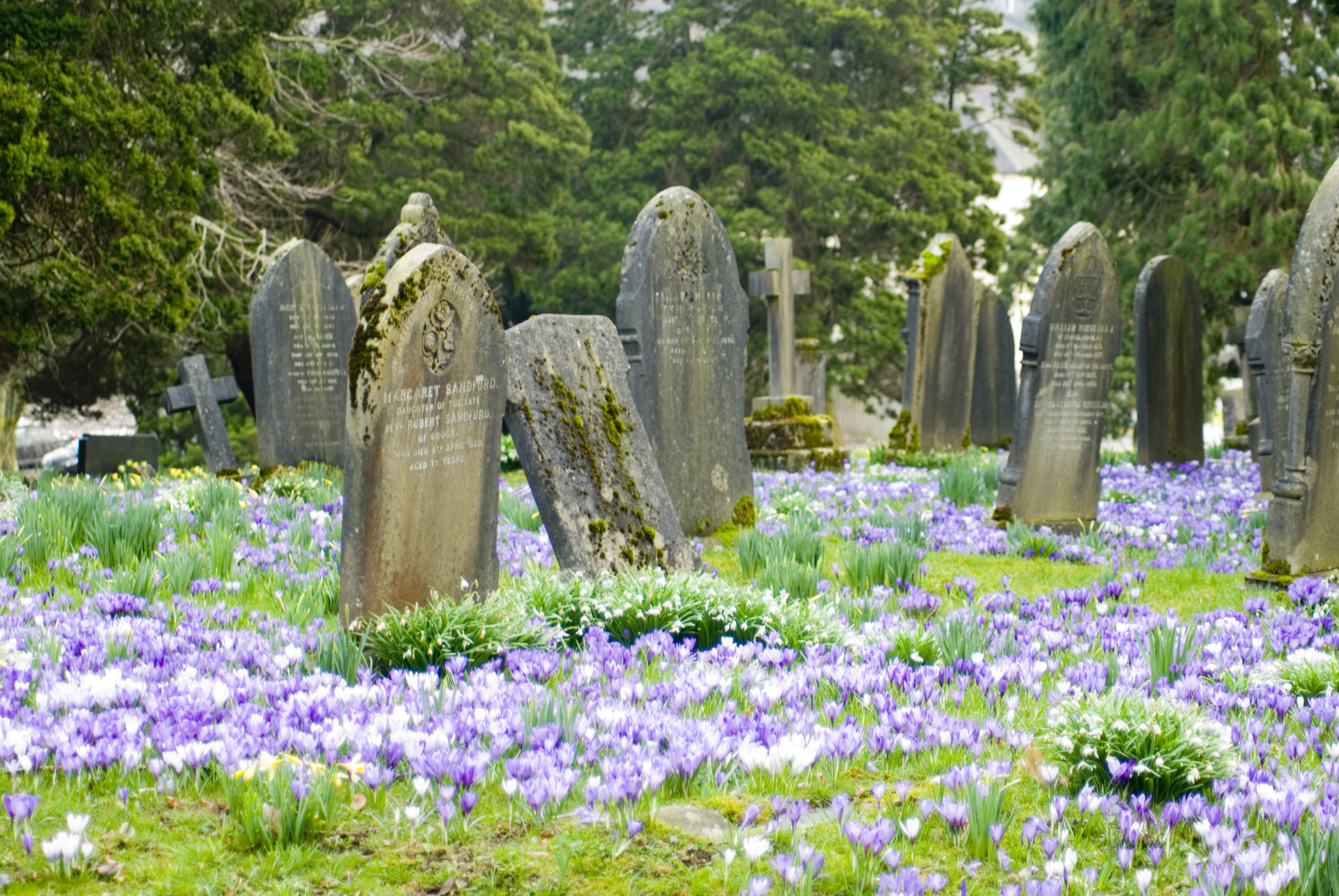 spring_time_churchyard.jpg - Old gravestones in a rural springtime churchyard with colourful crocuses blooming between the graves