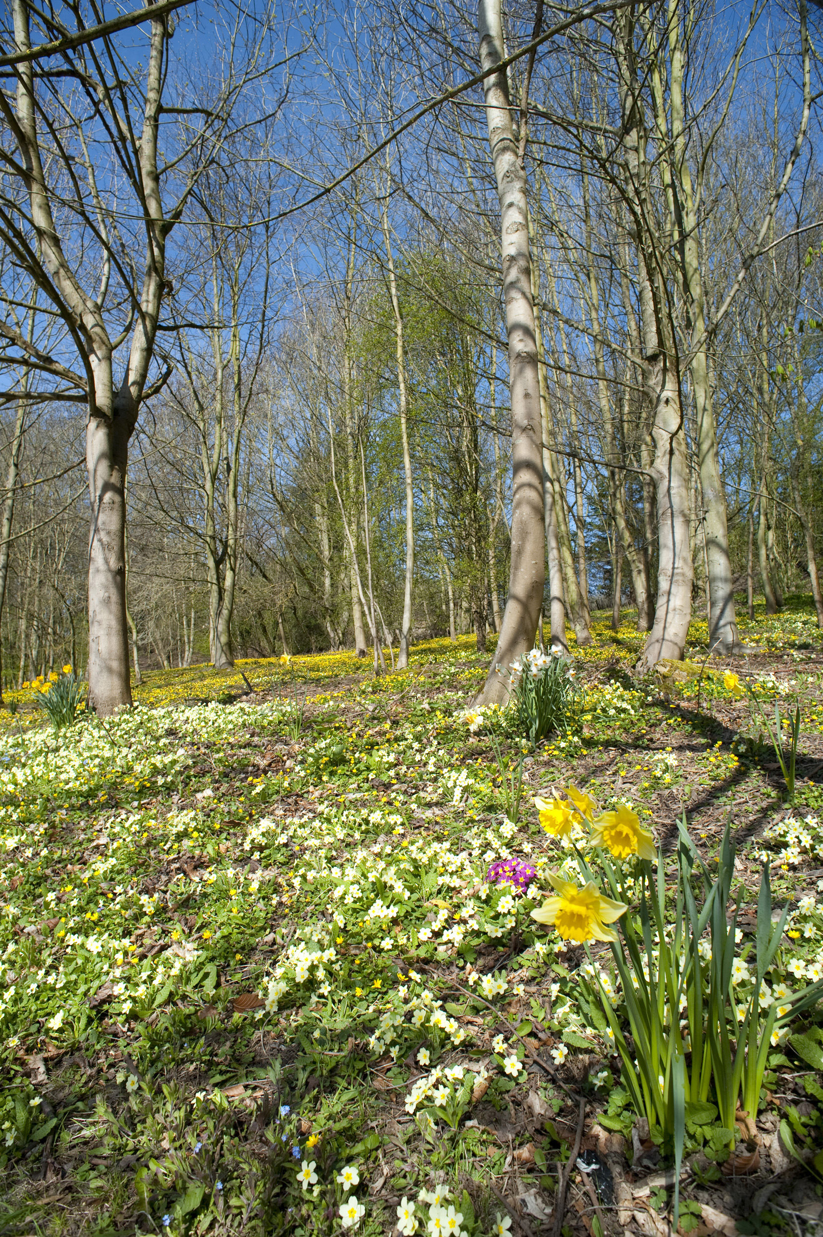 spring_woodland.jpg - Woodland in spring with a carpet of flowering primrose and daffodils under a clear blue sky