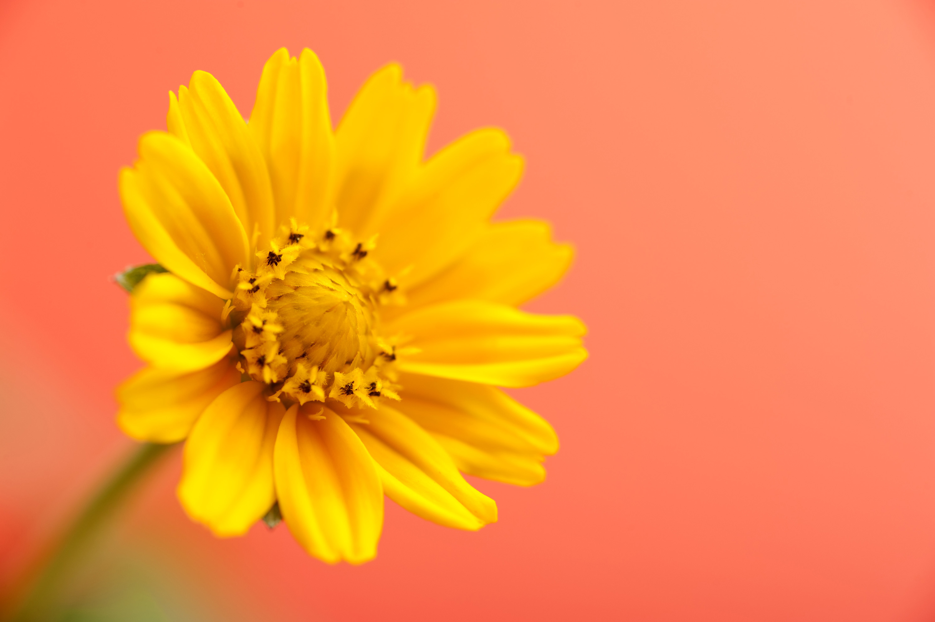 yellow_daisy.jpg - Beautiful yellow flower head in bloom as close up with light orange background. Includes copy space.
