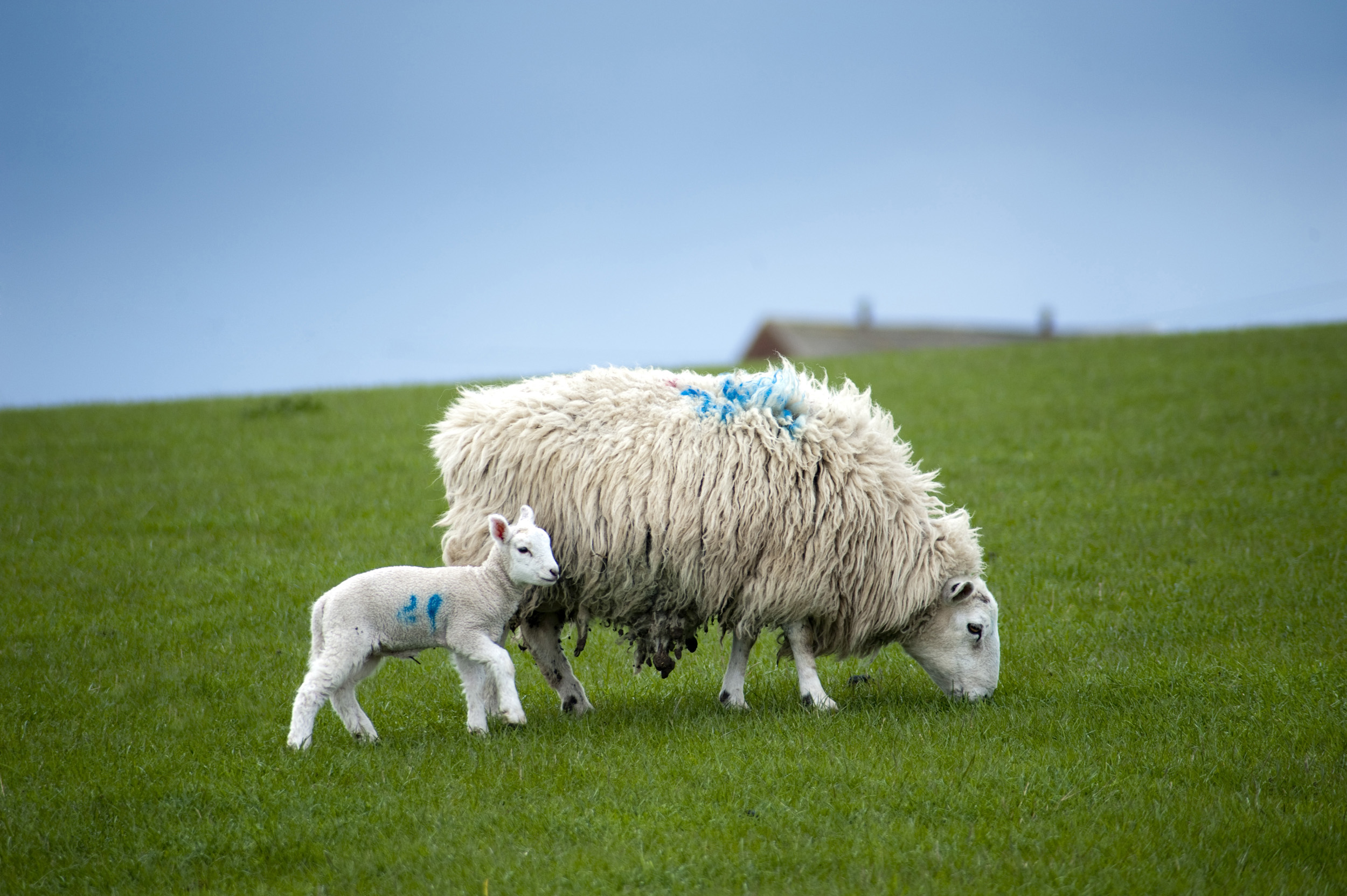 new_born_lamb.jpg - Woolly ewe with a heavy fleece grazing in a green pasture with her baby spring lamb