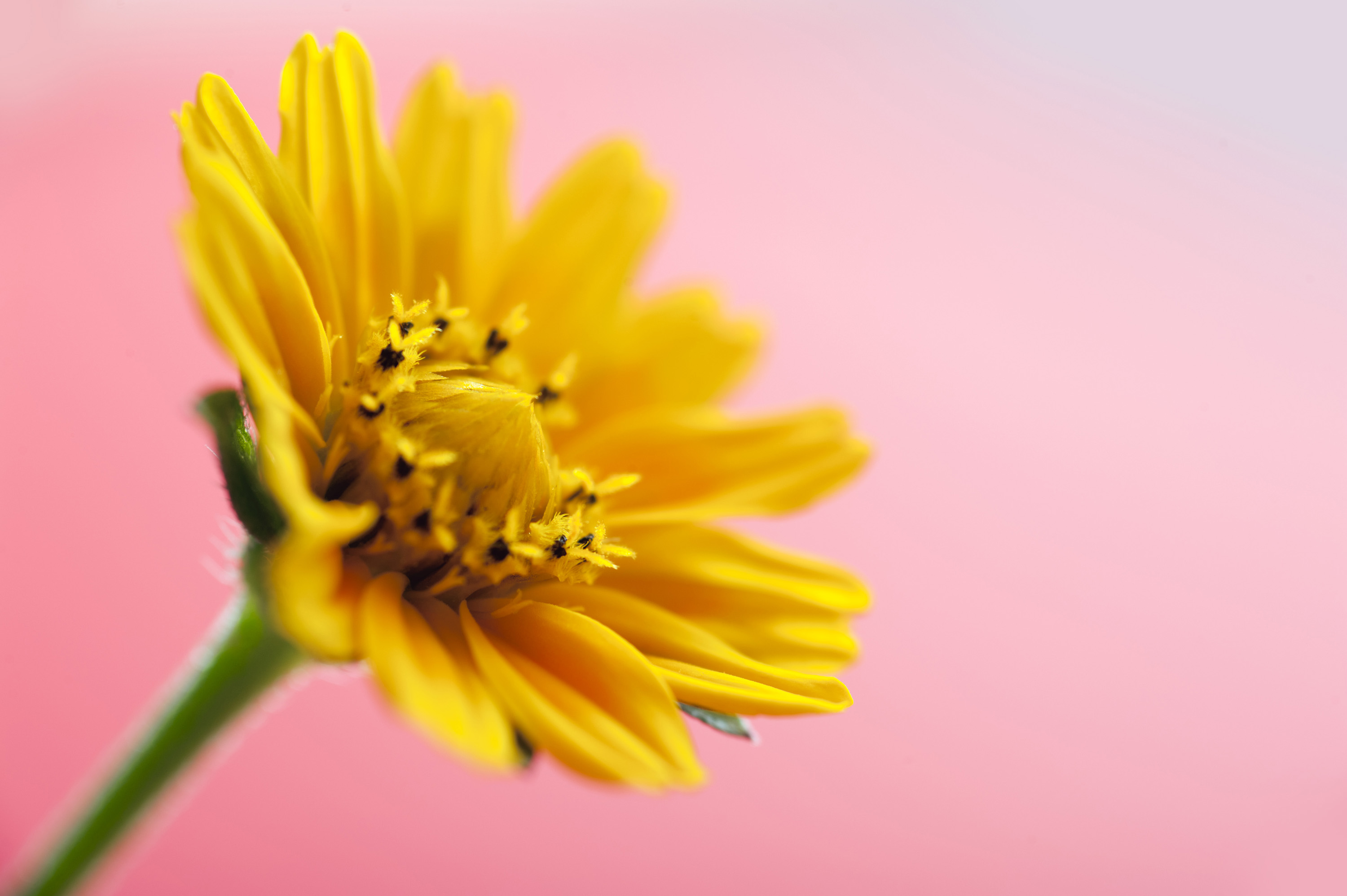Spring yellow flower on pink background Creative Commons ...