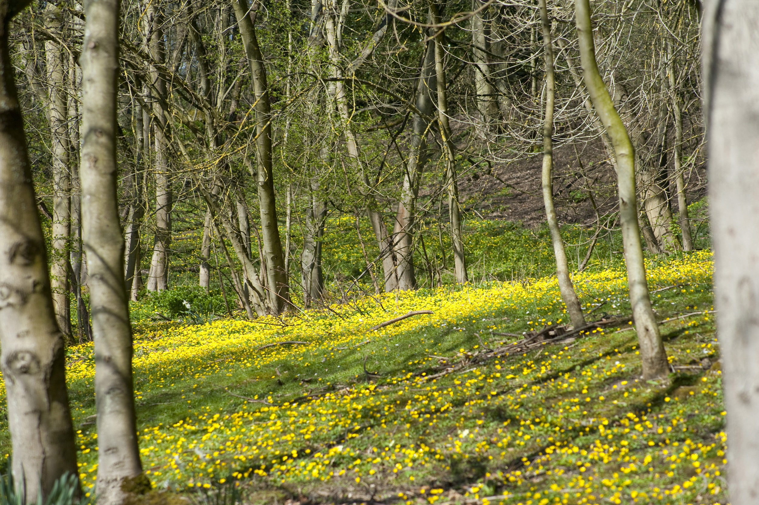 Woodland In Spring Creative Commons Stock Image